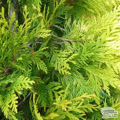 Buy Thuja occidentalis 'Yellow Ribbon' online from Jacksons Nurseries