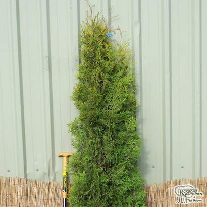 Buy Thuja occidentalis 'Yellow Ribbon' online from Jacksons Nurseries