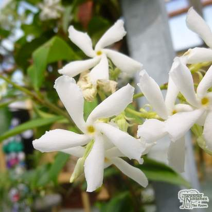 Buy Trachelospermum jasminoides online from Jacksons Nurseries