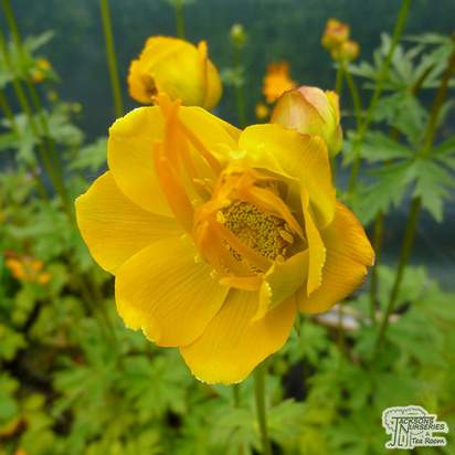 Buy Trollius chinensis Golden Queen (Globe Flower) online from Jackson's Nurseries.