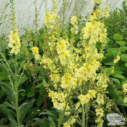 Buy Verbascum Gainsborough (Mullein) online from Jacksons Nurseries