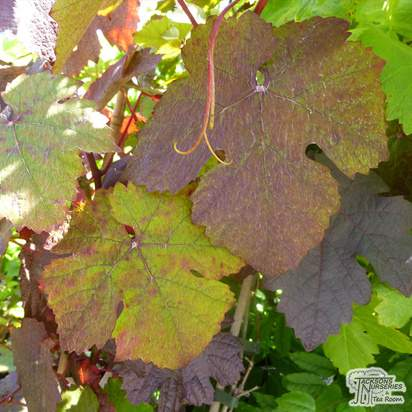Buy Vitis Brant online from Jacksons Nurseries