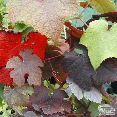 Buy Vitis vinifera Purpurea online from Jacksons Nurseries