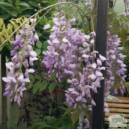 Buy Wisteria Caroline online from Jacksons Nurseries