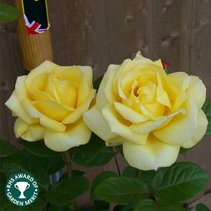 Buy Rosa Arthur Bell (Floribunda Rose) online from Jacksons Nurseries