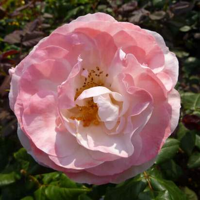 Buy Rosa English Miss (Floribunda Rose) online from Jacksons Nurseries