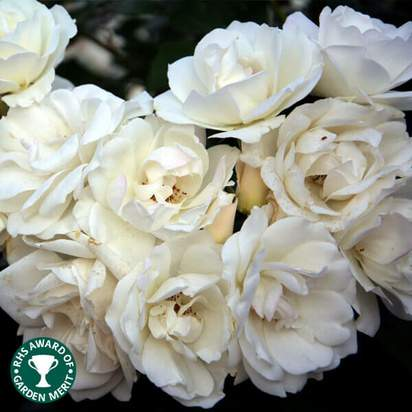 Buy Rosa Iceberg online from Jacksons Nurseries