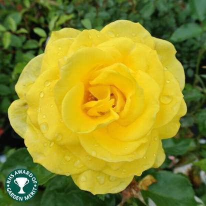 Buy Rosa Korresia online from Jacksons Nurseries