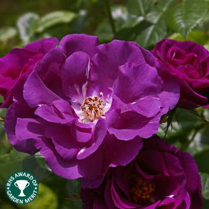 Buy Rosa Rhapsody in Blue (Celebration Floribunda Rose) online from Jacksons Nurseries