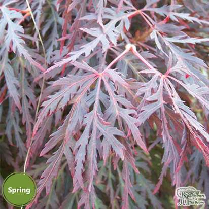Buy Acer palmatum dissectum Red Dragon (Japanese Maple) online from Jacksons Nurseries