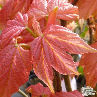 Buy Acer pseudoplatanus Brilliantissimum (Japanese Maple) online from Jacksons Nurseries