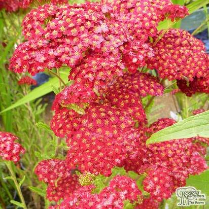 Buy Achillea millefolium 'Red Velvet' (Yarrow) online from Jacksons Nurseries