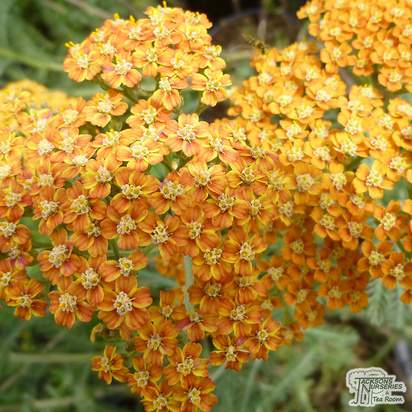 Buy Achillea Terracotta (Yarrow) online from Jacksons Nurseries