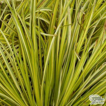 Buy Acorus gramineus Ogon online from Jacksons Nurseries