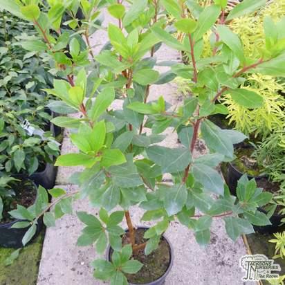 Buy Arbutus unedo (Strawberry-tree) online from Jacksons Nurseries