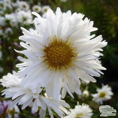 Buy Aster novi-belgii Snow Cushion online from Jacksons Nurseries