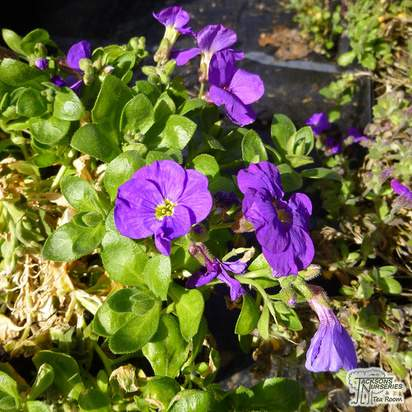 Buy Aubrieta Royal Blue (Aubretia) online from Jacksons Nurseries