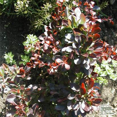 Buy Berberis thunbergii f. atropurpurea Atropurpurea Nana (Barberry) online from Jacksons Nurseries
