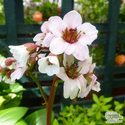 Buy Bergenia Silberlicht (Elephants Ears (silverlight)) online from Jacksons Nurseries