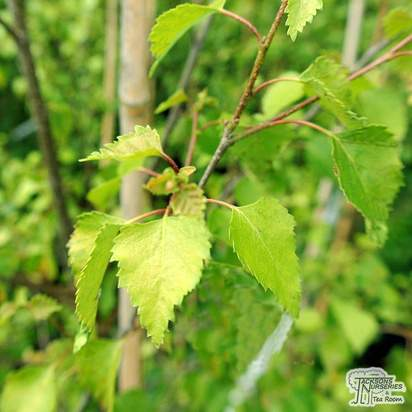 Buy Betula pendula Golden Cloud (Silver Birch Golden Cloud) online from Jacksons Nurseries