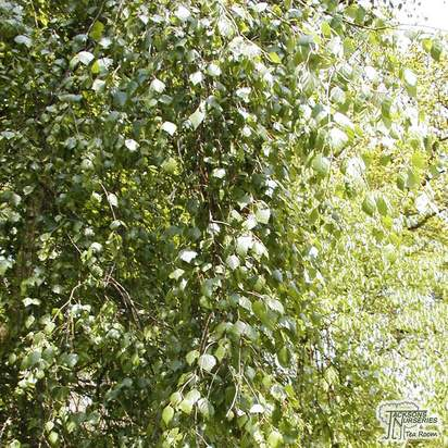 Buy Betula Pendula Youngii (Young's weeping Birch) online from Jacksons Nurseries