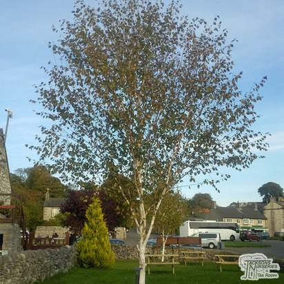 Buy Betula utilis var. Jacquemontii (White Barked Himalayan Birch) online from Jacksons Nurseries