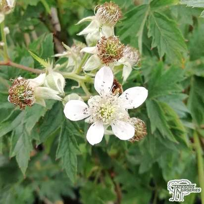 Buy Blackberry - Rubus fruticosus Oregon Thornless online from Jacksons Nurseries