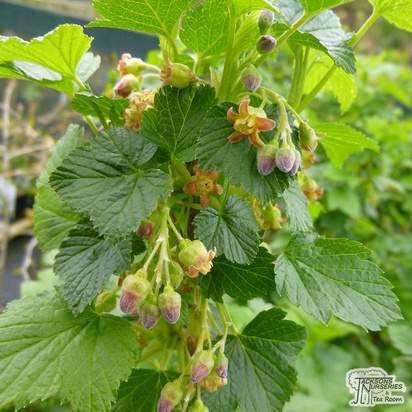 Buy Blackcurrant - Ribes nigrum Ben Sarek online from Jacksons Nurseries