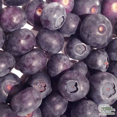 Buy Blueberry - Vaccinium corymbosum Goldtraube online from Jacksons Nurseries