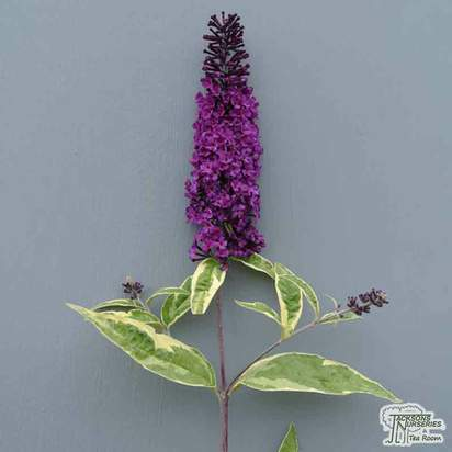 Buy Buddleja davidii Harlequin (Butterfly Bush) online from Jacksons Nurseries