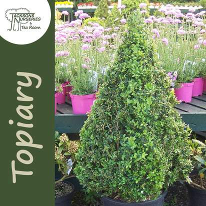 Buy Buxus sempervirens Pyramid (Pyramid Box) online from Jacksons Nurseries