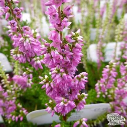 Buy Calluna vulgaris Darkness (Scots Heather) online from Jacksons Nurseries