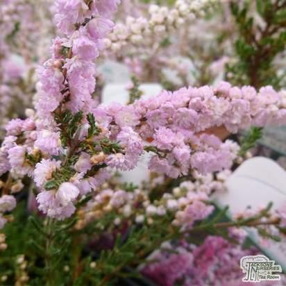 Buy Calluna vulgaris H.E. Beale (Scots Heather) online from Jacksons Nurseries