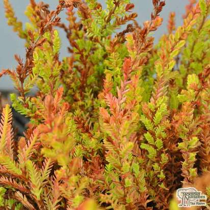 Buy Calluna vulgaris Wickwar Flame online from Jacksons Nurseries