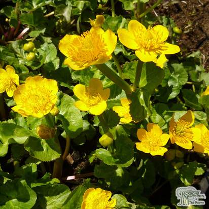 Buy Caltha palustris (Yellow Marsh Marigold) online from Jacksons Nurseries
