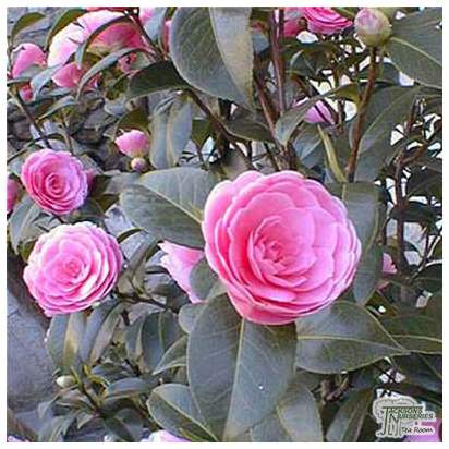 Buy Camellia EG Waterhouse online from Jacksons Nurseries