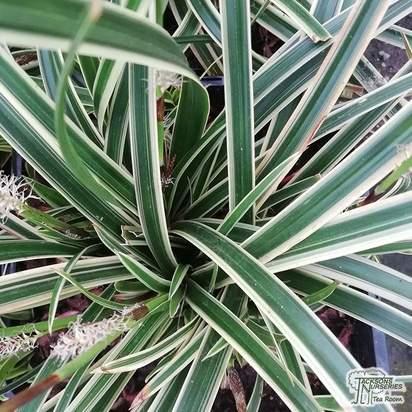 Buy Carex morrowii Variegata online from Jacksons Nurseries
