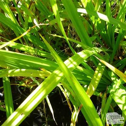 Buy Carex pendula online from Jacksons Nurseries