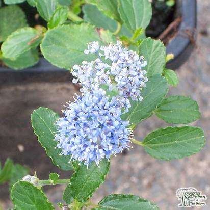 Buy Ceanothus Blue Cushion online from Jacksons Nurseries
