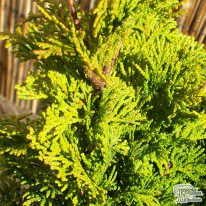 Buy chamaecyparis obtusa Nana Gracilis online from Jacksons Nurseries