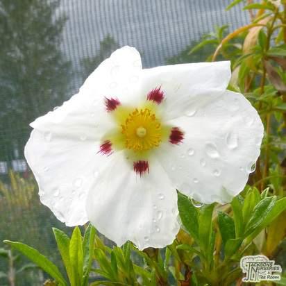 Buy Cistus x dansereaui Decumbens (Rock Rose) online from Jacksons Nurseries