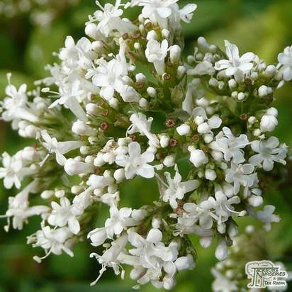 Buy Valeriana officinalis online from Jacksons Nurseries