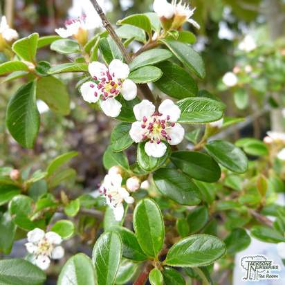 Buy Cotoneaster x suecicus Coral Beauty (Dwarf Weeping Cotoneaster) online from Jacksons Nurseries