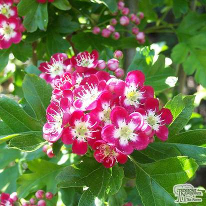 Buy Crataegus laevigata Crimson Cloud (Hawthorn Crimson Cloud) online from Jackson's Nurseries.
