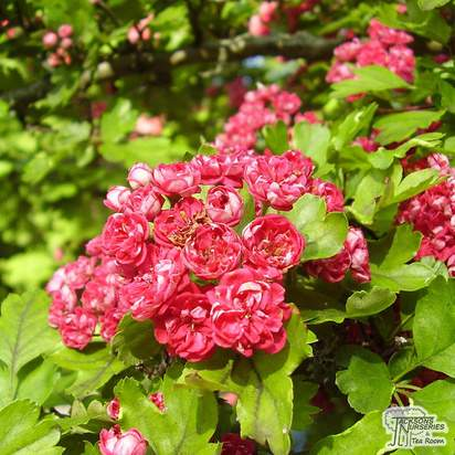 Buy Crataegus x media Paul's Scarlet (Midland Hawthorn) online from Jacksons Nurseries