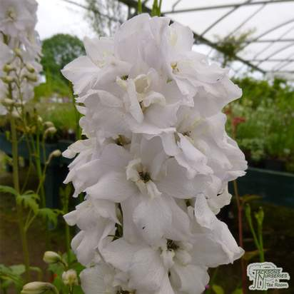 Buy Delphinium Galahad (Delphinium) online from Jacksons Nurseries