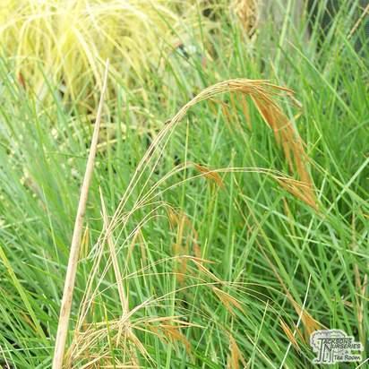 Buy Deschampsia cespitosa Goldtau (Tufted Hair Grass) online from Jacksons Nurseries