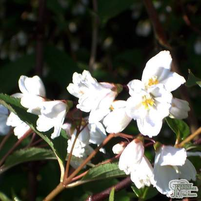 Buy Deutzia x lemoinei (Deutzia) online from Jacksons Nurseries