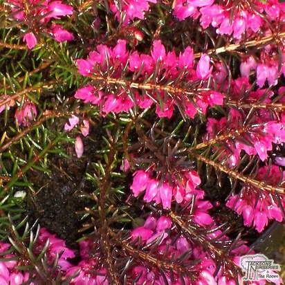 Buy Erica carnea Vivellii (Winter Heath Heather) online from Jacksons Nurseries