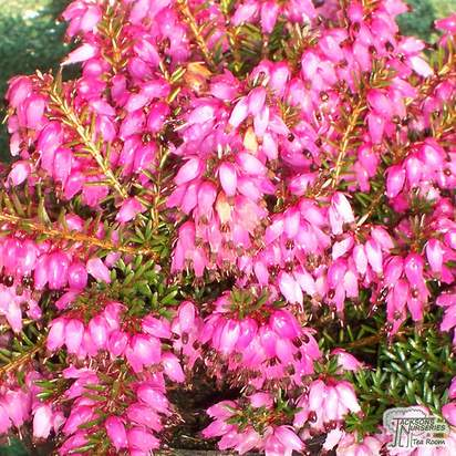 Buy Erica carnea Winter Beauty (Winter Heath Heather) online from Jacksons Nurseries